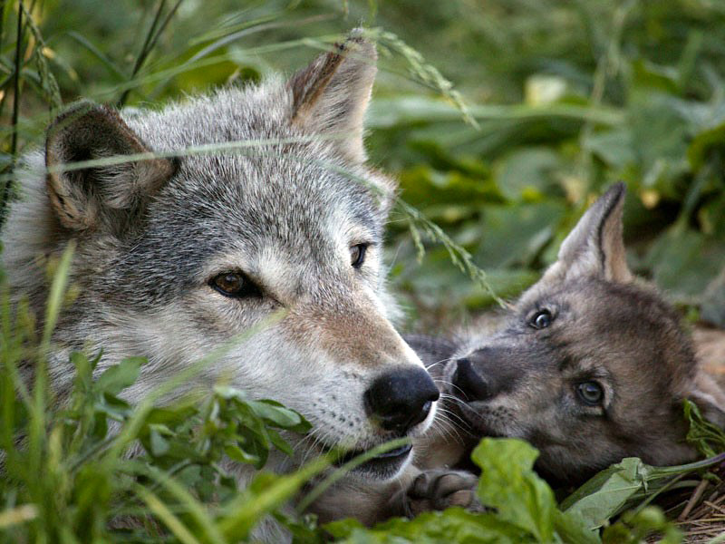 картинки волк и волчонок настоящей жизни фуртадо